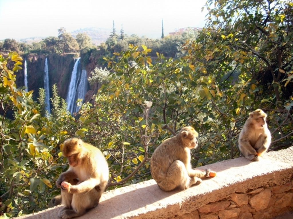 Monkeys in Ouzoud